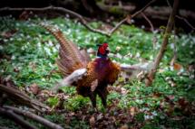 A pheasant called Mr. T