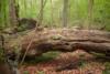 Skovuhyre